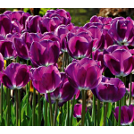 Tulip Color by the Hundreds Purple