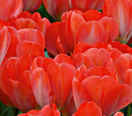 Tulip Color by the Hundreds Orange