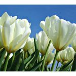 Tulip Color by the Hundreds White