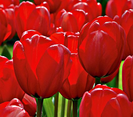 Tulip Color by the Hundreds Red