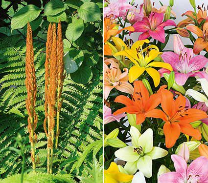 Asiatic Lily and Cinnamon Fern Collection