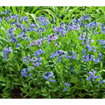 Amsonia WFF Selection