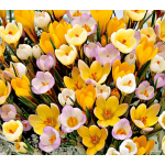 Crocus in Yellow Shades Mixture