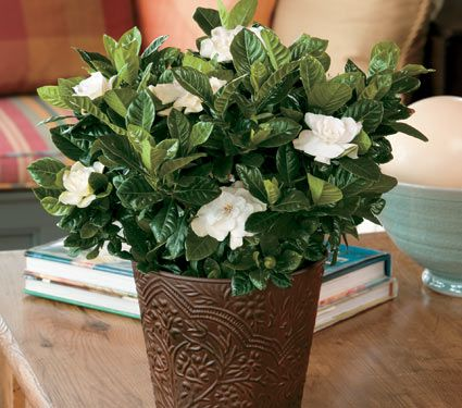 Gardenia in an embossed cachepot white flower farm gardenia in an embossed cachepot mightylinksfo