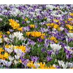 Farewell to Winter Crocus Mix
