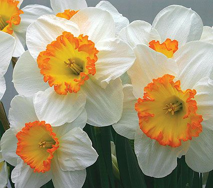 Weatherproof Large Cupped Daffodil Mixture White Flower Farm