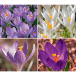 Squirrel-Proof Crocus Mix