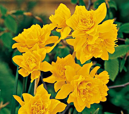 Narcissus Double Campernelle