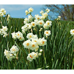 Narcissus 'Sir Winston Churchill', Landscape Size