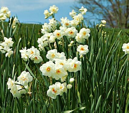 Narcissus Sir Winston Churchill, Landscape Size