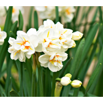 Narcissus 'Sir Winston Churchill'