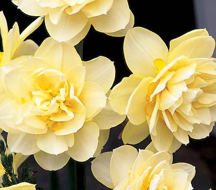 Narcissus 'Manly'