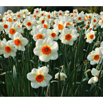 Narcissus 'Barrett Browning', Landscape Size