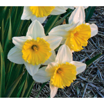 Narcissus Ice Follies, Landscape Size