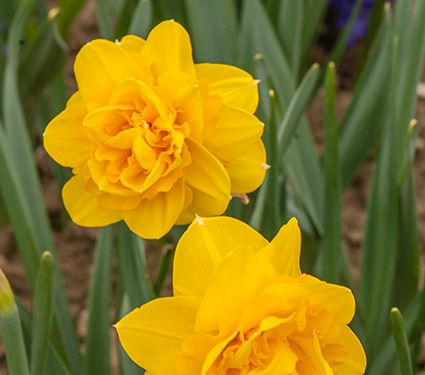 Narcissus 'Heamoor'