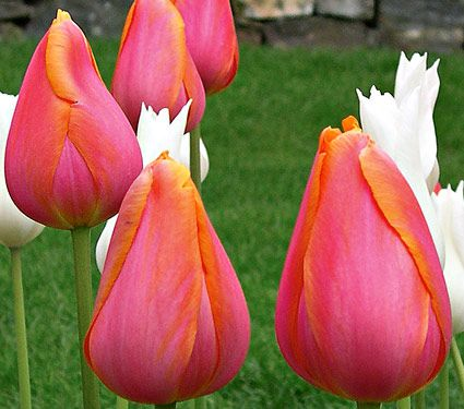 French Single Late Tulips