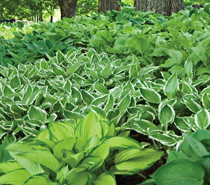 Emerald Isle Hosta Collection