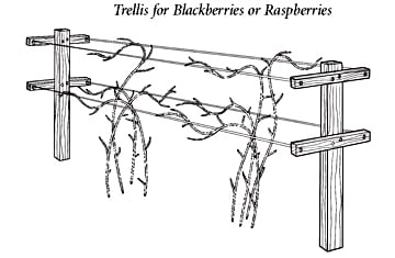 Trellis for Blackberries or Raspberries