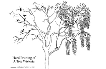 Tree Wisteria pruning